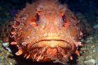 cabracho/cap roig/rascasse/drachenkopf/scorpionfish/schorpioenvis