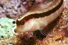 babosa/blennie de roux/schleimfisch/long blenny/gewone slijmvis