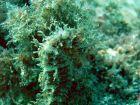 hippocampus ramulosus